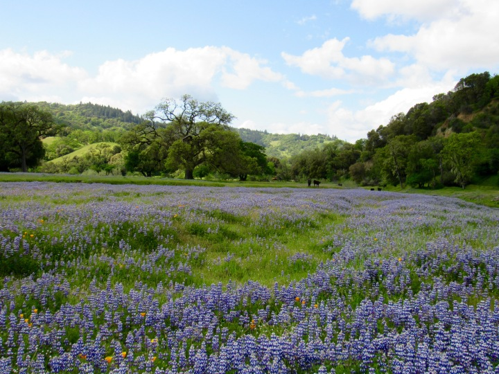 Cox Vineyards Update: Springtime at the Ranch